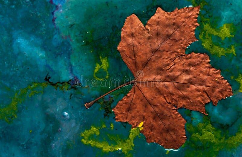 Тонуть высушенный кленовый лист в смеси различных красок стоковое фото