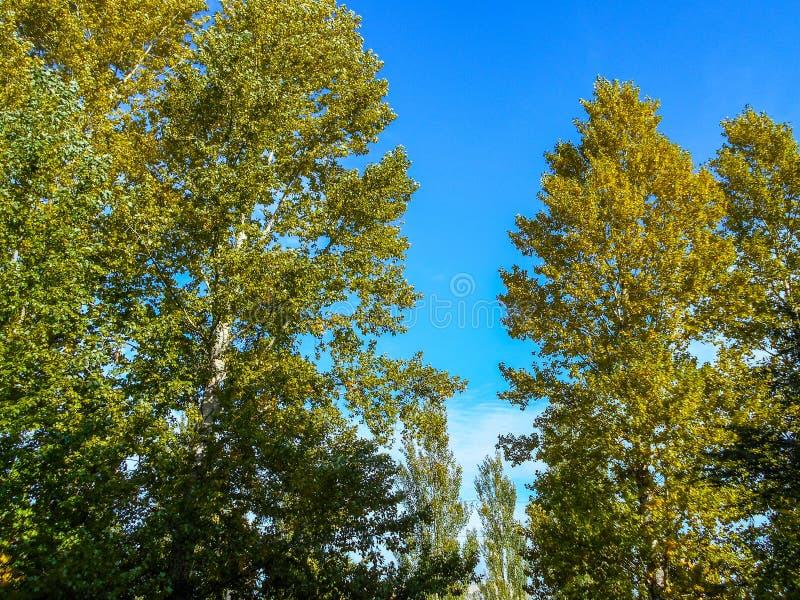 тополь Дерево тополя в падении с яркими ыми-зелен листьями стоковое фото