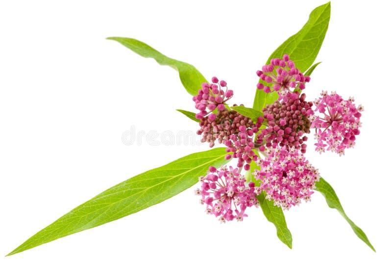 топь milkweed стоковые изображения rf