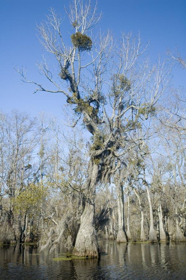 топь mistletoe стоковая фотография rf