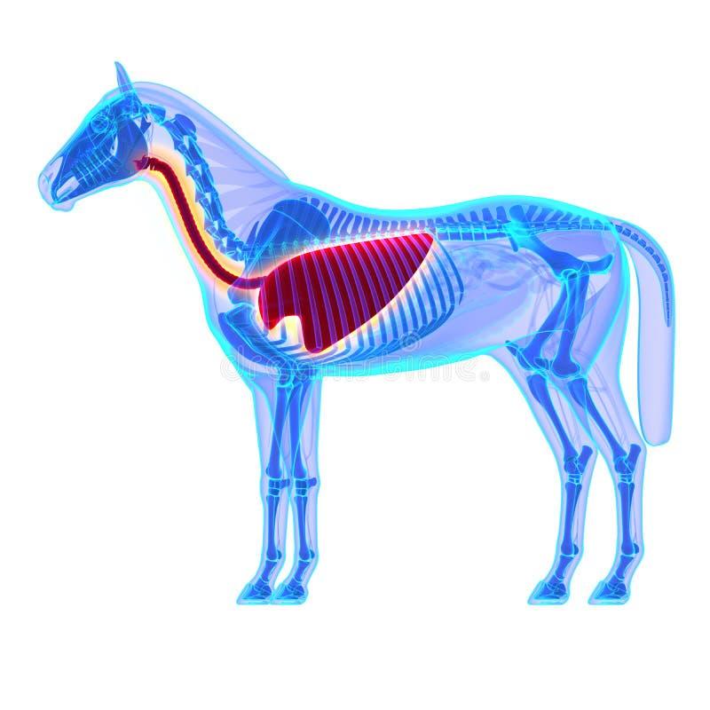 Торакс лошади - анатомия Equus лошади - изолированный на белизне иллюстрация вектора