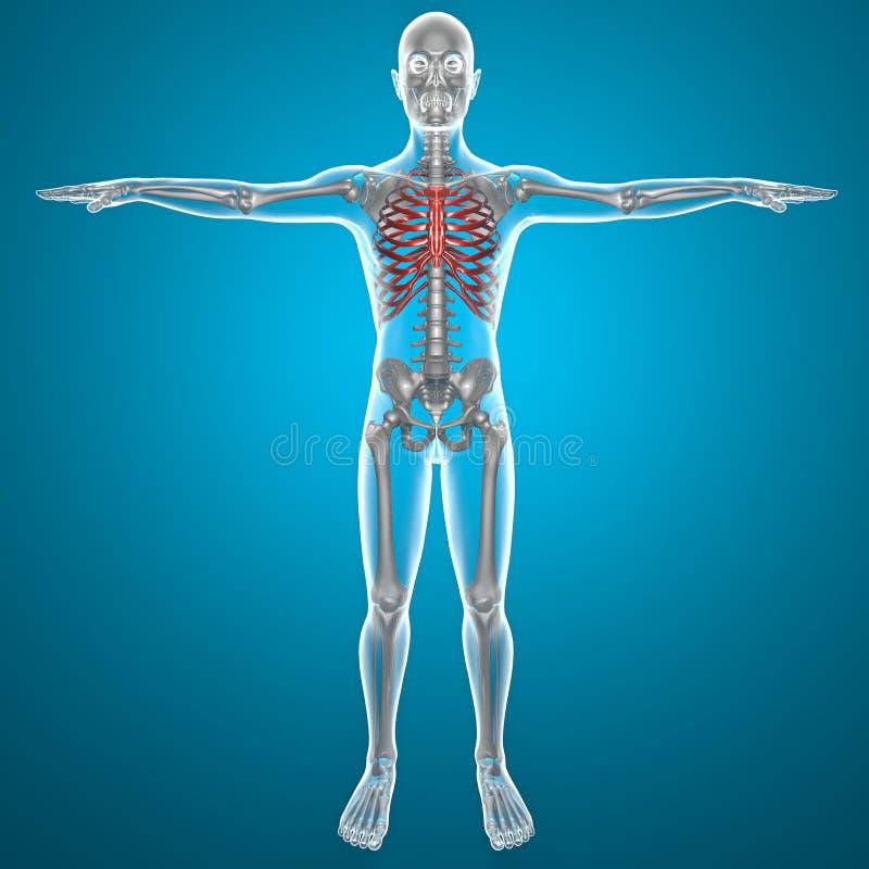 Торакс рентгеновского снимка иллюстрация вектора