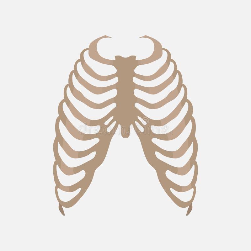 Торакс, человеческая анатомия, исследование тела иллюстрация вектора