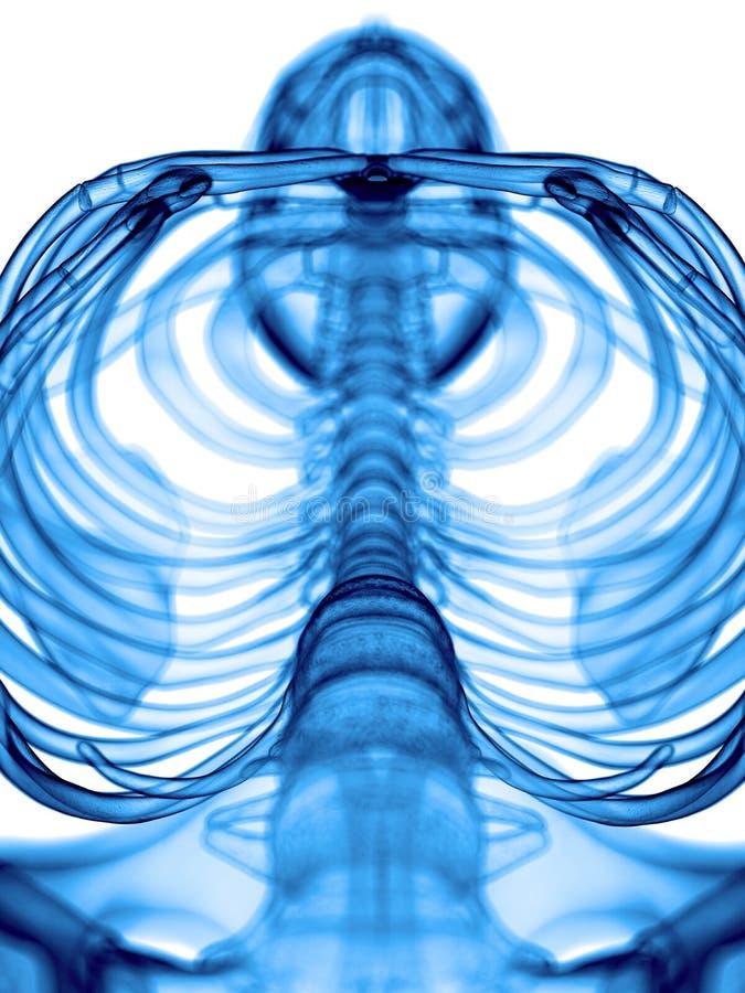 Торакс иллюстрация вектора