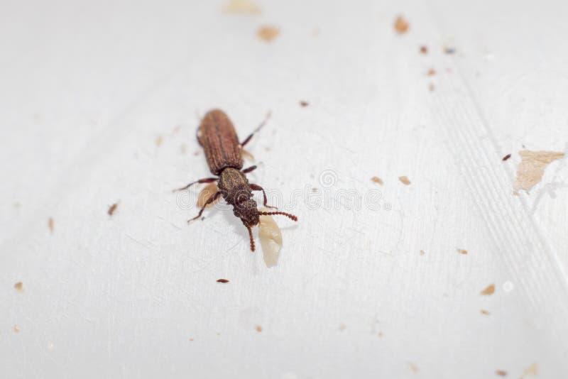 Торговый жук зерна в белый идти предпосылки Oryzaephilus mercator стоковое фото rf