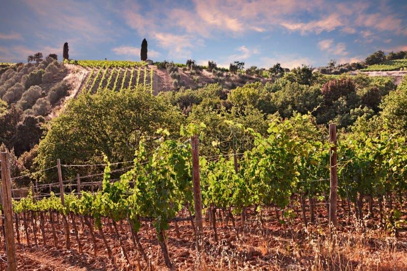 Тоскана, Италия: ландшафт на заходе солнца холмов с виноградниками стоковое фото