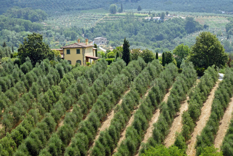 Тосканские оливковые дерева стоковое фото rf