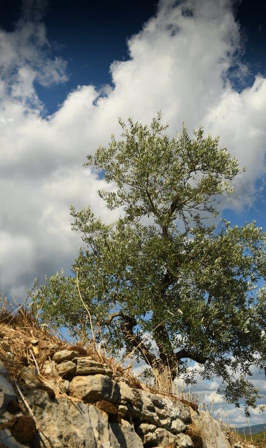 Тосканский сельский ландшафт Красивые оливковые дерева с голубым облачным небом Сезон лета, Тоскана стоковые изображения rf