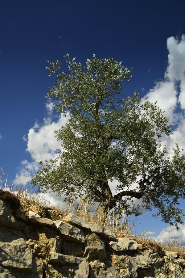 Тосканский сельский ландшафт Красивые оливковые дерева с голубым облачным небом Сезон лета, Тоскана стоковое изображение