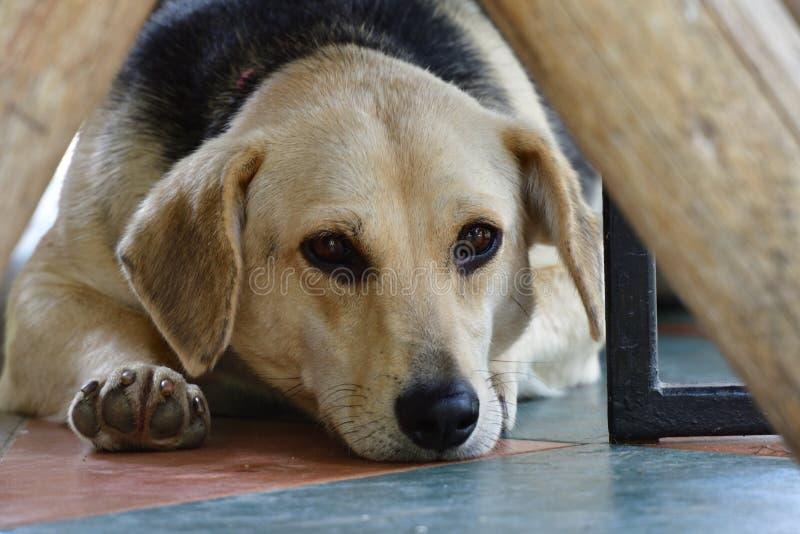 тоскливость собаки в глазах стоковое фото rf