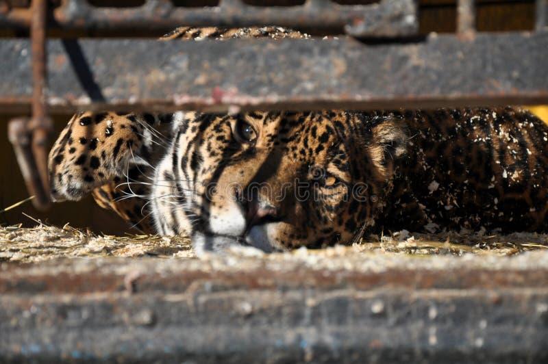 Тоскливость тюрьмы льва тигра клетки клетки животных зоопарка стоковые фотографии rf