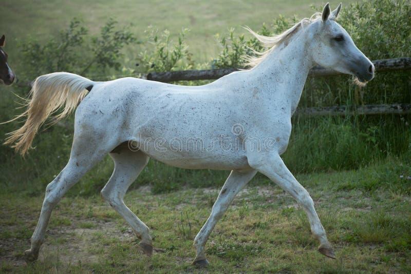 Точный всход запятнанного белого коня стоковая фотография rf