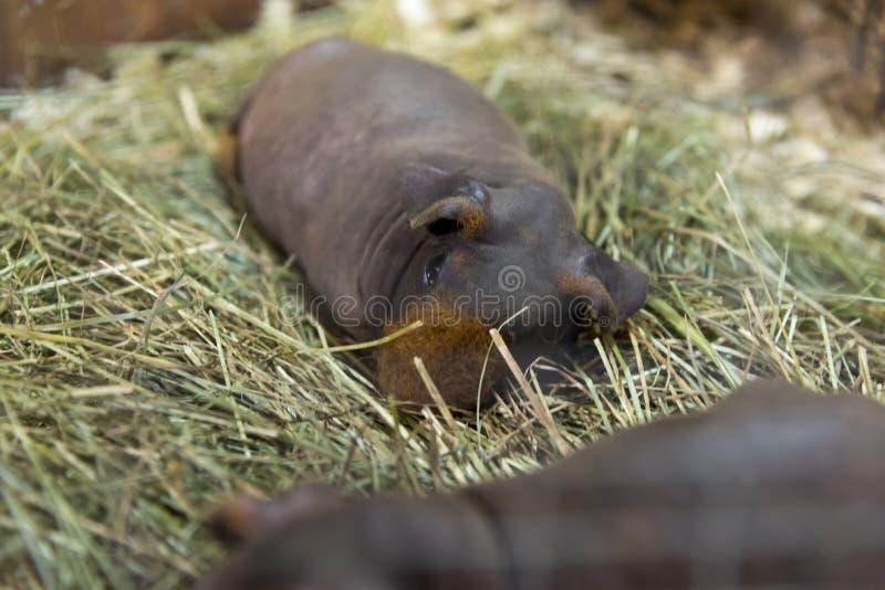 Тощий cavy мирно отдыхая на сене стоковые фото