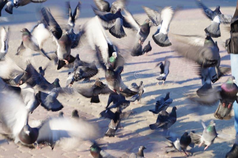 Толпа голубей летает в поисках конспекта еды стоковое фото rf