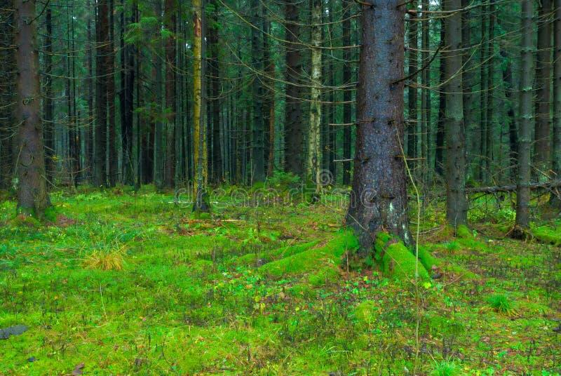 Толстый темный покрытый лес ели стоковое изображение rf