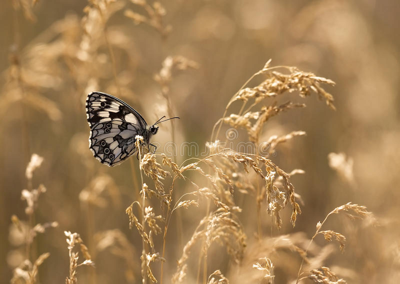 трава бабочки золотистая стоковые изображения