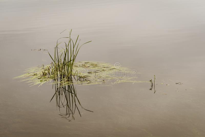 Трава болота в спокойной воде стоковые фотографии rf