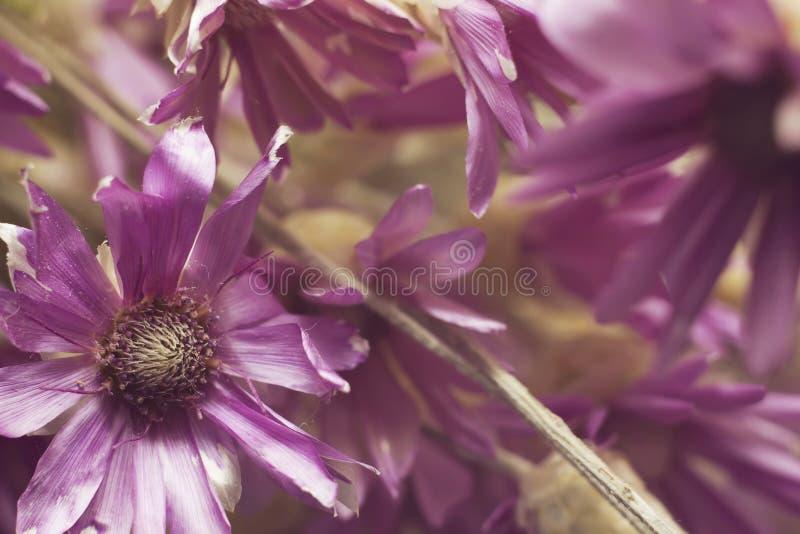 трава высушила botanica цветков пурпура ежегодников цветков (Kserantemum) стоковое фото rf