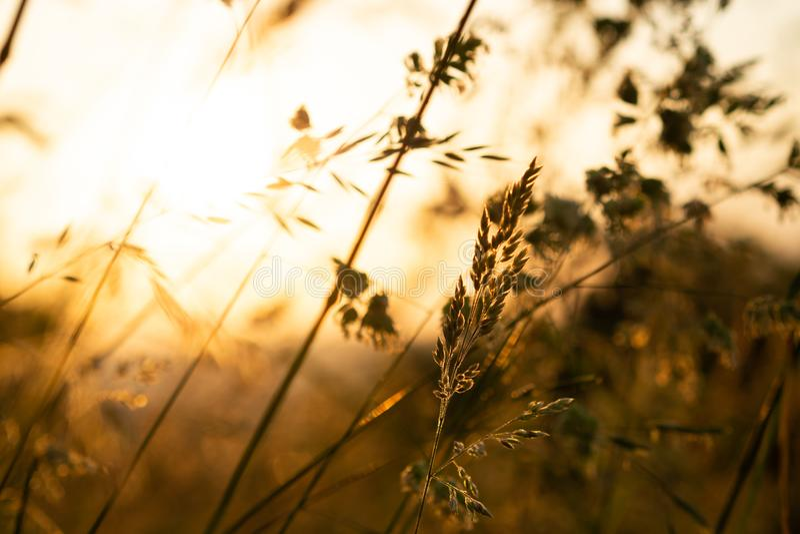 Трава в открытом поле касанном теплым светом захода солнца лета стоковые изображения