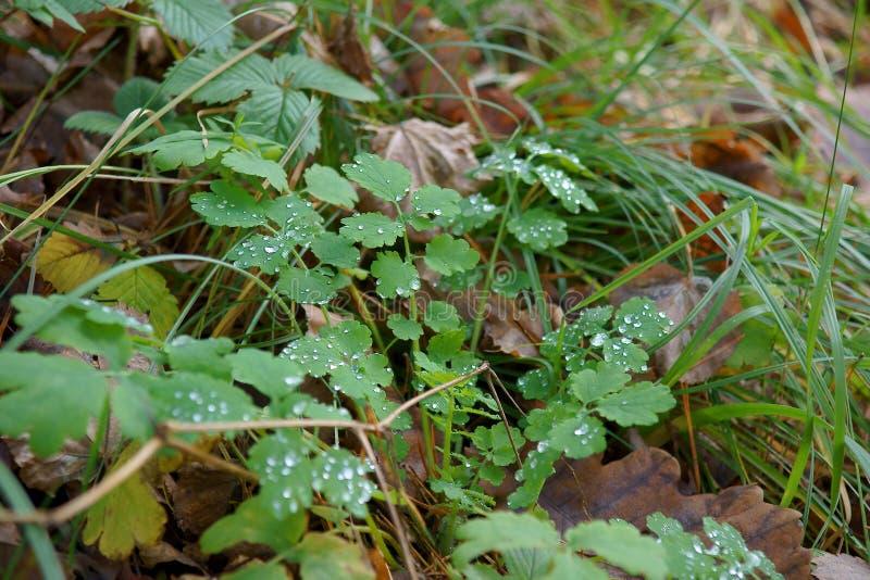 Трава в росе, папоротнике леса стоковые изображения rf