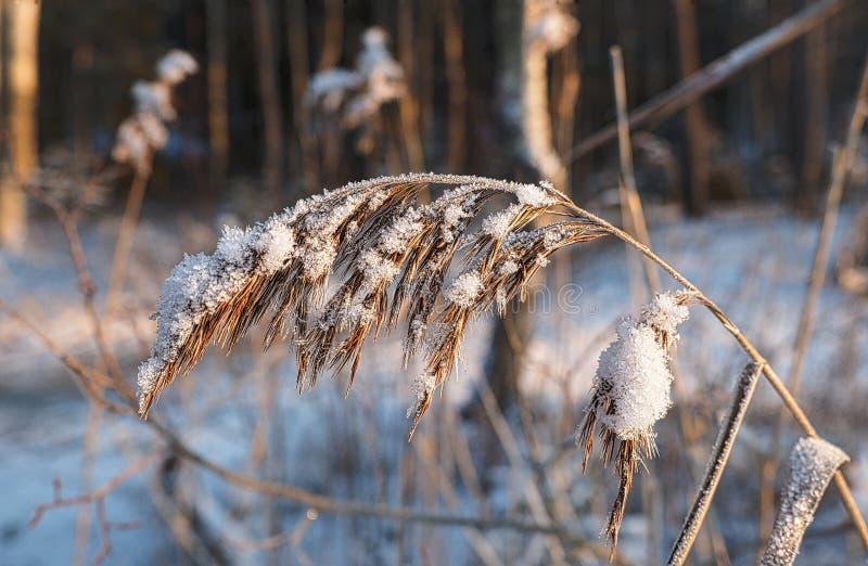 Трава в снежке стоковые изображения rf
