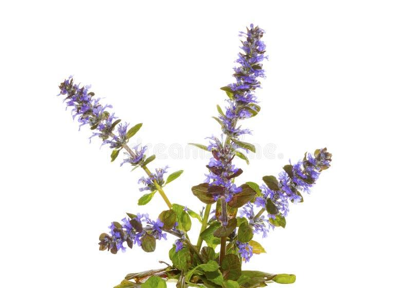Трава голубого стекляруса, или reptans Ajuga, цветки стоковая фотография