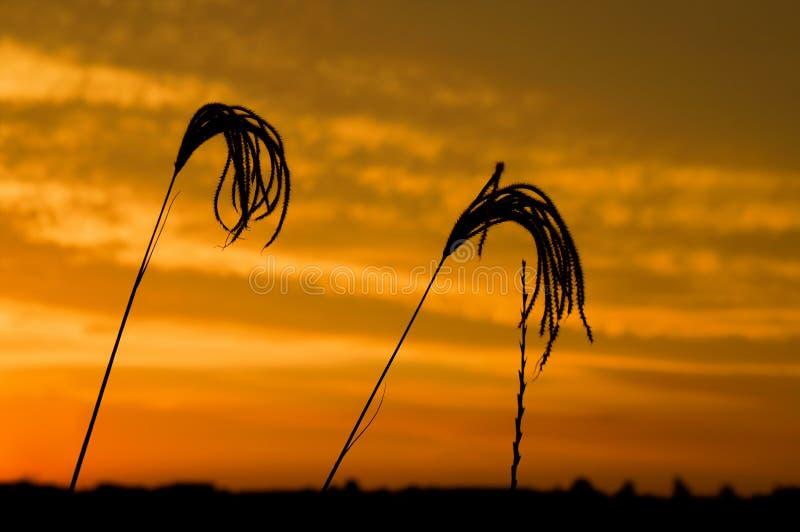 Трава 2 захода солнца стоковое фото