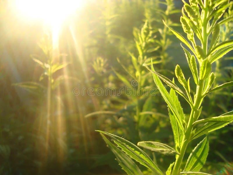 Трава и солнце стоковые фотографии rf