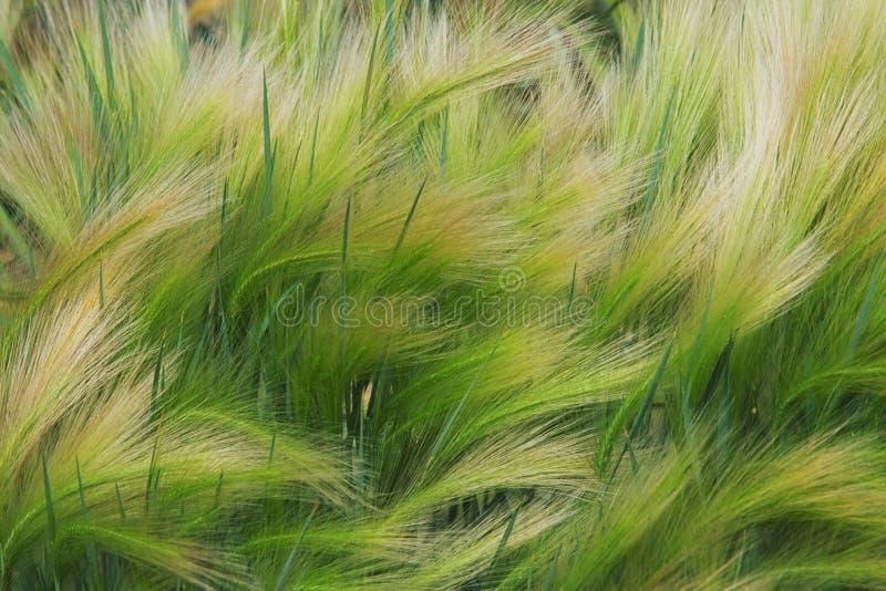 трава лисохвоста ячменя стоковые фотографии rf