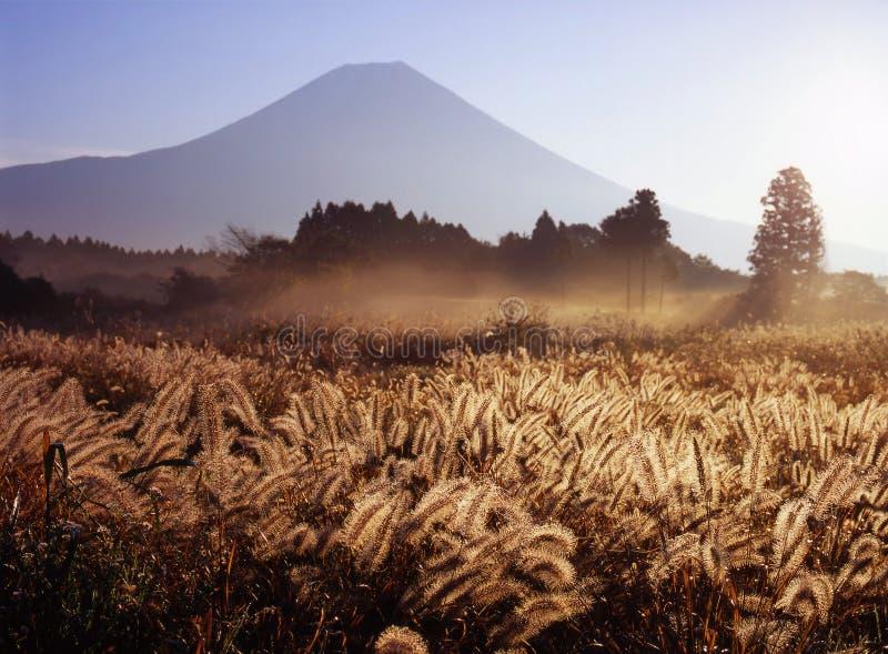 трава лисохвоста стоковая фотография rf