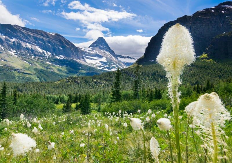 Трава медведя на горе на национальном парке 2 ледника стоковые фотографии rf