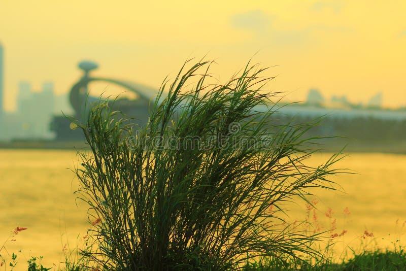 Трава на схвате Tsai Kwun болезненном стоковое изображение
