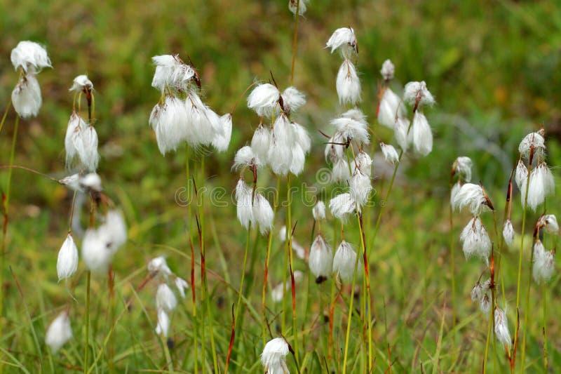 Трава общего хлопка - angustifolium Eriophorum стоковые изображения