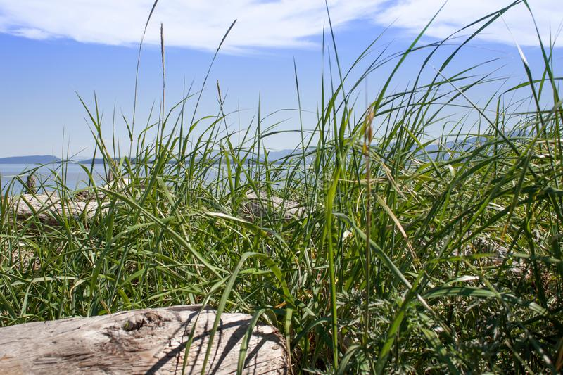 Трава океана на бечевнике стоковая фотография rf