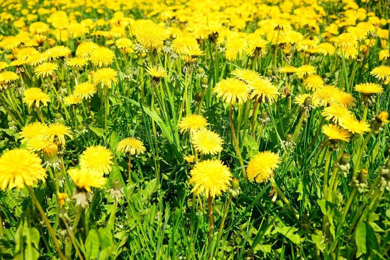 Трава одуванчика на времени весны в Европе стоковое изображение