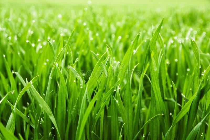 трава падений росы свежая стоковые изображения rf