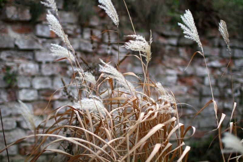 Трава пера стоковая фотография rf