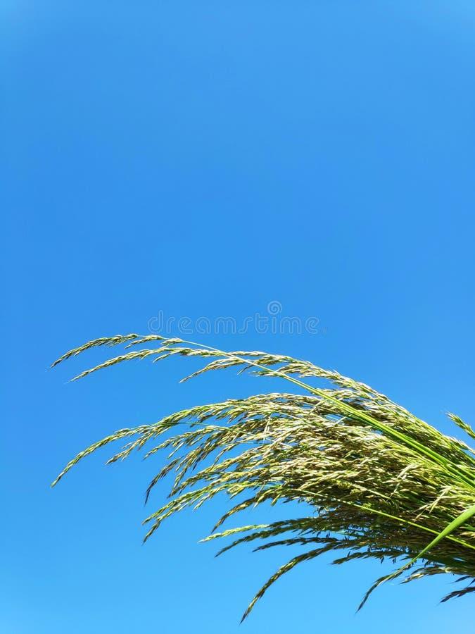 Трава поля против неба стоковое фото rf