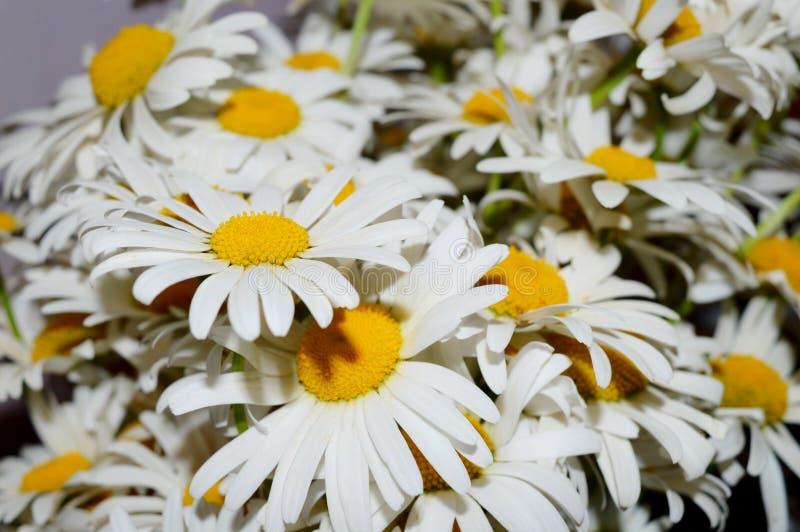 трава поля цветов camomiles предпосылки стоковые изображения
