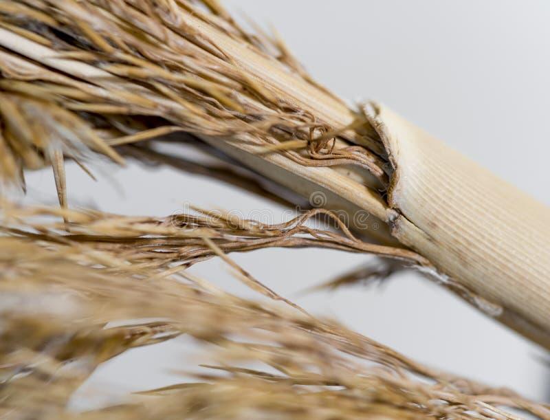 Трава пшеницы хлопка стоковые фотографии rf