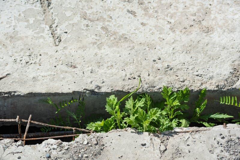Трава растет через зазор между конкретными усиленными плитами стоковые изображения rf