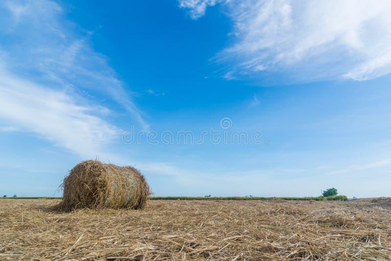 Трава сена с голубым небом на рисовых полях стоковая фотография rf