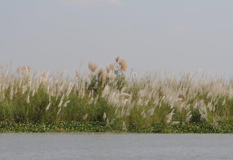 Трава серебра Miscanthus озера Мьянм Inle стоковая фотография rf