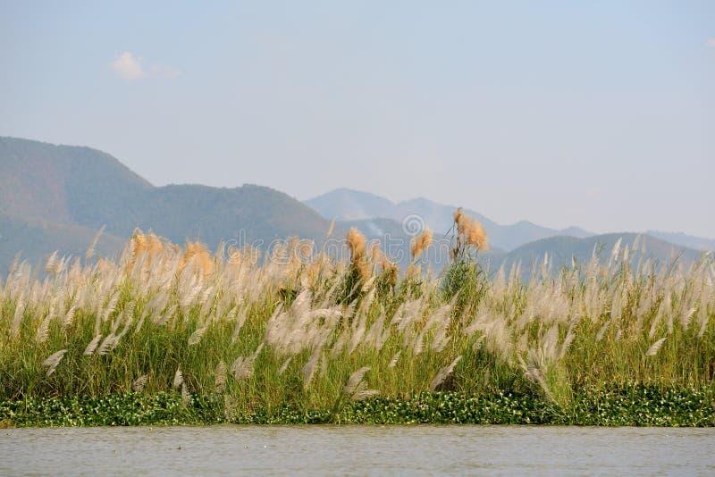 Трава серебра Miscanthus озера Мьянм Inle стоковое изображение rf