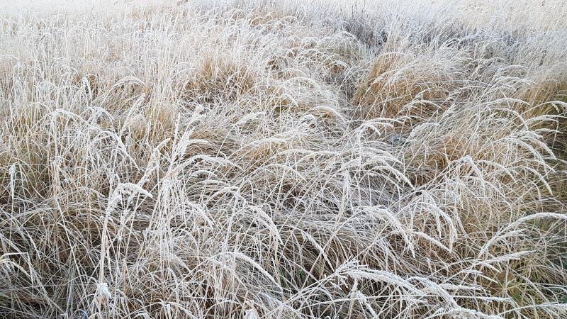 Трава с белым заморозком в первом свете утра стоковые изображения rf