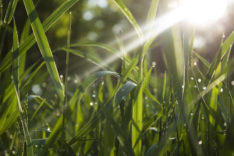Трава утра стоковые фотографии rf
