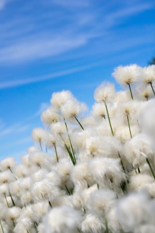 Трава хлопка стоковое изображение