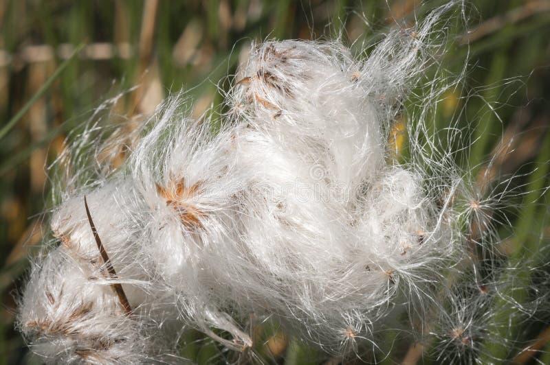 Трава хлопка, Eriophorum стоковая фотография rf