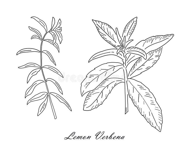 Трава чая вербены лимона изолированная на белой предпосылке иллюстрация штока