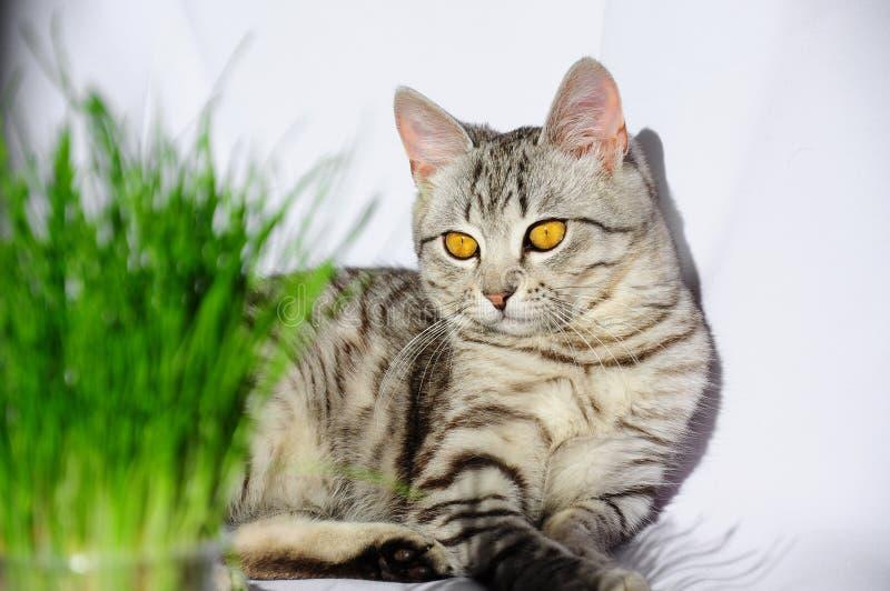 Трава для котов кот ест траву Серый кот стоковые фотографии rf